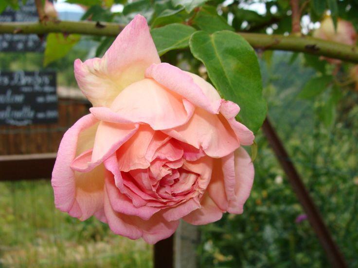 Moje róże – moja pasja   » różowe