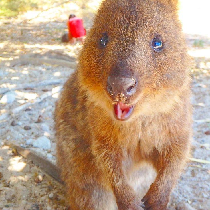 クォッカちゃん . ロットネスには野生のクォッカがいっぱい 踏みながら必死に撮った1枚 #世界一幸せな動物#クォッカ#quokka#smile#ピカチュウ#rottnestisland #rottnest #OLYMPUS#perth#australia#オーストラリア#genic by oonacchioo http://ift.tt/1L5GqLp