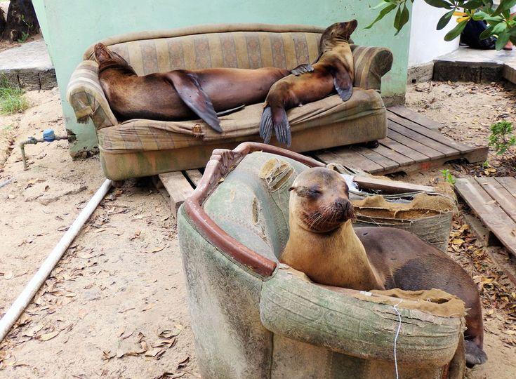Seal Loungeroom, taken on Isabella, Galapagos.