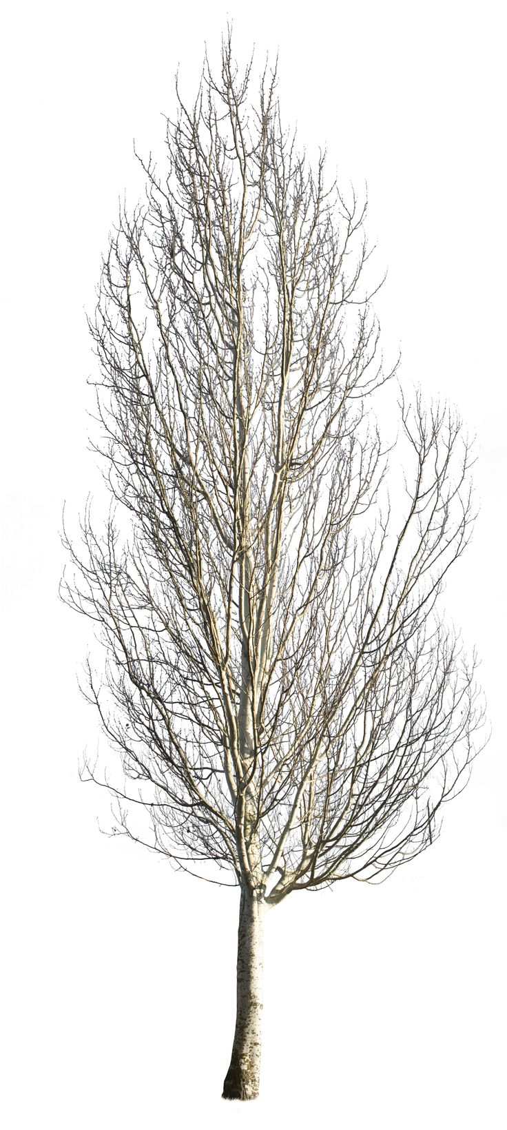 2390 x 5326 Pixels TIFF, transparent background.  38,5 MB file, ready to download.  White poplar tree in the winter time.  Populus alba  En: Abele; Silver poplar, Silverleaf poplar, White poplar; De:Silver-pappel, Weiß-Pappel; Fr: Peuplier argenté; It:Pioppo d'argento; Pt:Choupo branco.   Native to Morocco, Iberian Peninsula, central Europe to central Asia.Grows in moist sites, often by watersides, in regions with hot summers and cold to mild winter