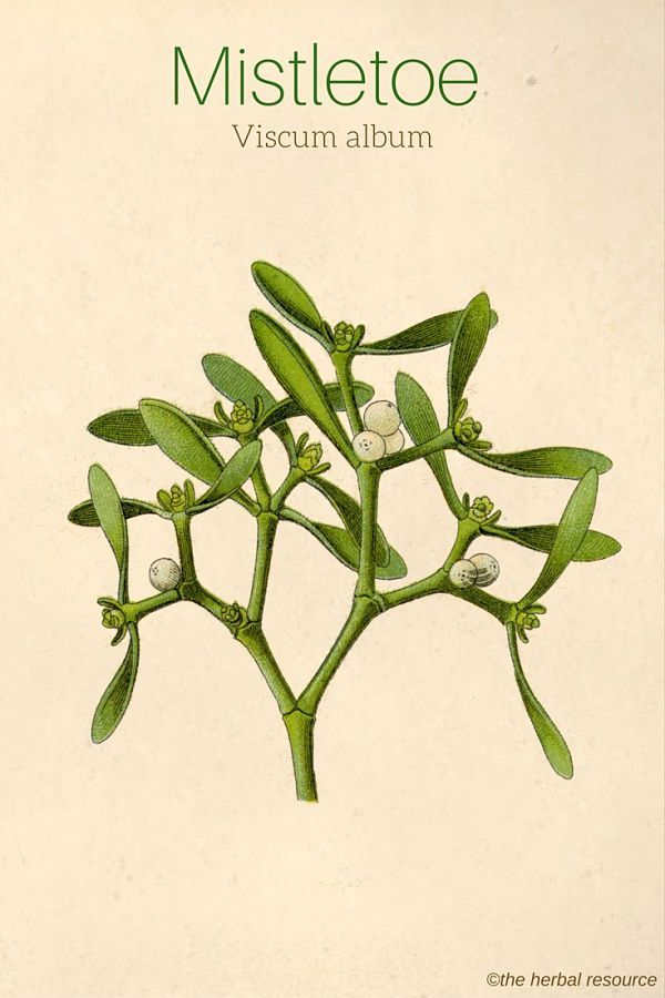 Mistletoe – Side Effects and Health Benefits