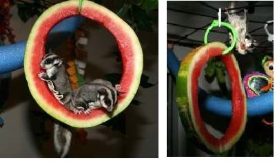 Watermelon enrichment for sugar gliders