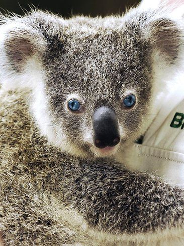 Weird & Wonderful Australia. Dreamworld on the Gold Coast (Queensland, Australia) is home to Logan, a very rare blue-eyed koala - the only one in captivity - who was born in April 2007. The colour is a result of reduced pigmentation. Picture: AP Photo/Dreamworld