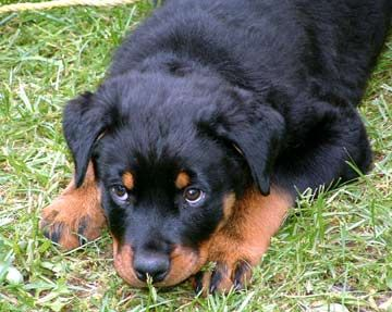 Rottweiler dog photo   dogs rottweilers rottweilers dogs ozzy back 749 of 861 next