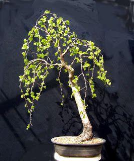 MiKo Bonsai: Silver Birch