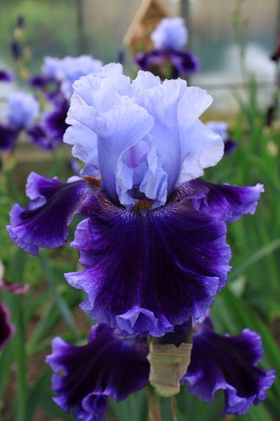 Global Crossing | All Iris | Iris Catalog | Iris4u Iris Garden