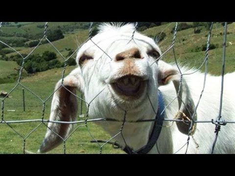 Funny Goats Compilation ★ Funny Goats Screaming (HD) [Epic Laughs] - YouTube