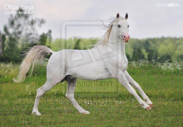 Arabian stallion Vent by Olga5 on deviantART