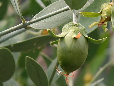 """Jojoba Oil; it can """"trick"""" the skin into thinking it's producing enough oil. This means it's balancing oil production, cleaning clogged pores and restoring skin's natural pH balance."""