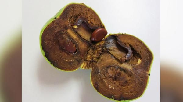 Chocolate pudding fruit, otherwise Known as the Black Sapote