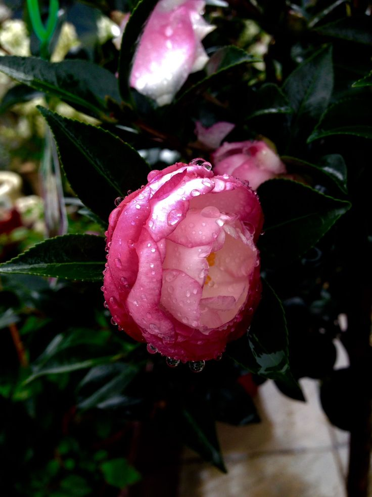These camellia Standards are just stunning , any mum would approve.