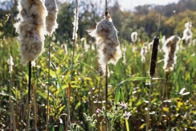 How to Control Cattail Pond Weeds Naturally and Organically