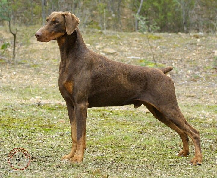 This Dobermann has natural ears but a docked (artificially shortened) tail