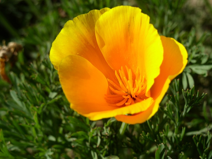 State Flower: Poppy. My picture, taken at Soledad Mission ...