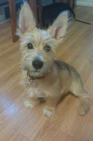 Schnauzer corgi mix--omg, I love it! Some mixes really turn out cute.