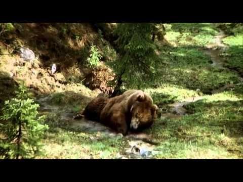 Медведь. Судьба сводит вместе осиротевшего медвежонка и огромного раненого медведя. - YouTube