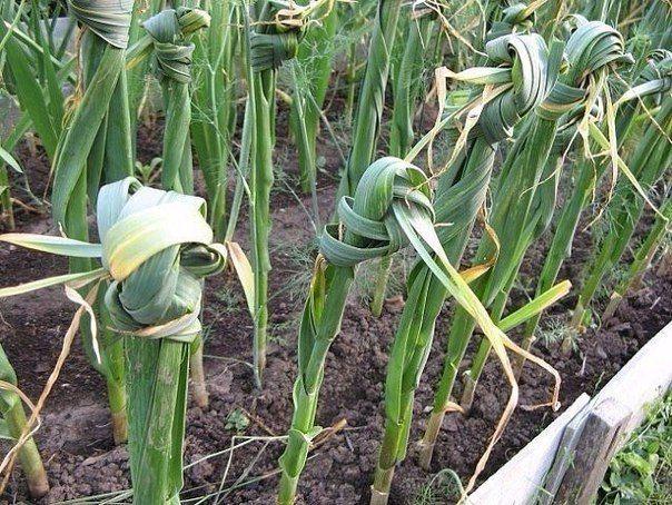 Пожелтение кончиков листьев как у озимого, так и ярового чеснока наблюдается почти ежегодно. Причинами могут быть недостаток азота, фосфора, калия, магния и в условиях холодной дождливой погоды, и п…