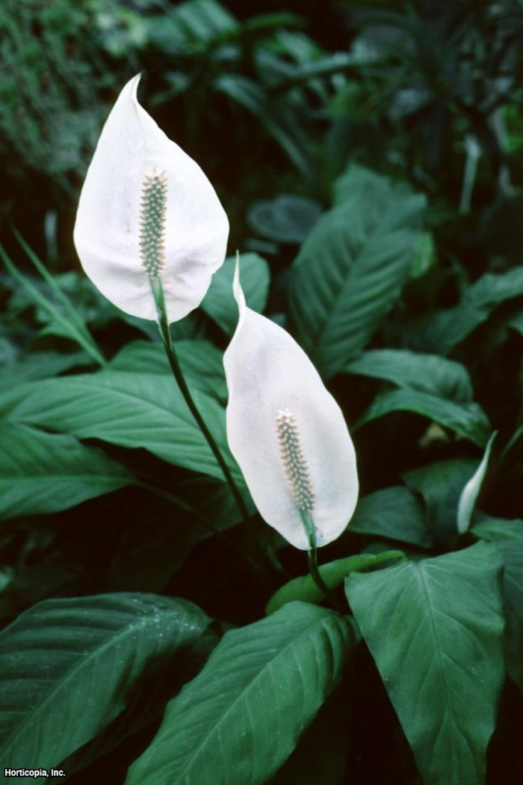 25 Best Ideas About Peace Lily On Pinterest Best Indoor