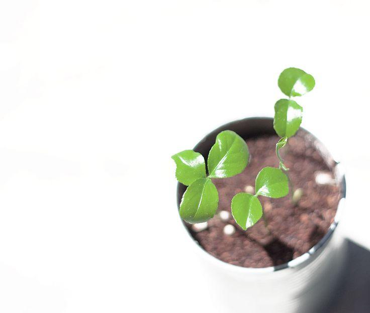 Cómo germinar semillas de limón