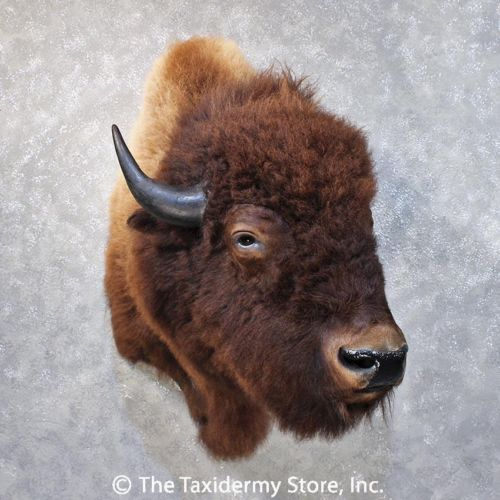 iphone for kids 11868 e american buffalo shoulder taxidermy mount 11868