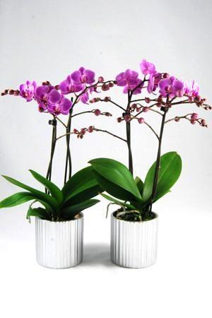 Ochidee Phalaenopsis Vienna in Metallic zilver keramiek. Tafelmodellen. Little Kolibri Orchid.