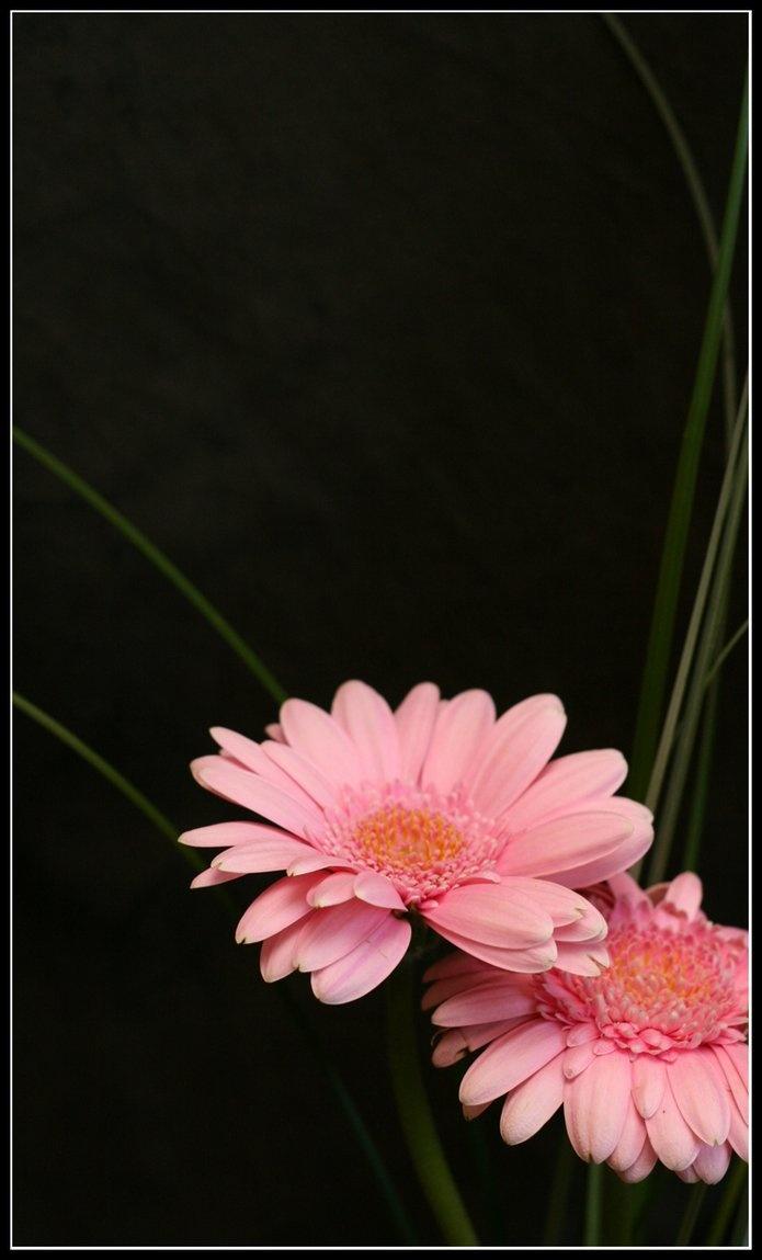 ✯ By *Lardacil*✯: Black Backgrounds, Black Drop, Nature Flowers Pink, Black Attack, Black Fusion, Black Pink, Natural Flowers Pink, Zzz Pretty, Flowers Pretty Flowers