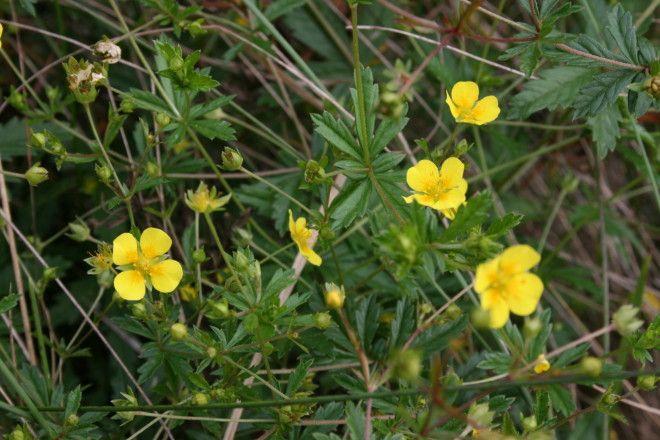Plante medicinale – Sclipetul (Potentilla erecta), Foto: floracatalana.es