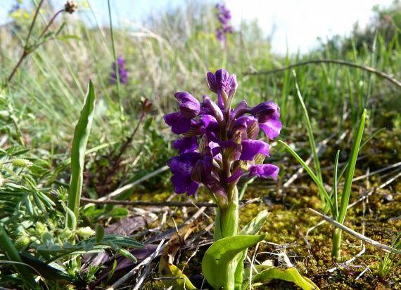 Csodaszép agárkosbor - Orchis morio -