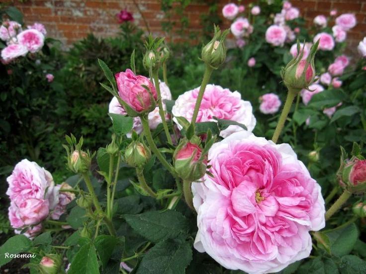les 8 meilleures images du tableau les roses anciennes sur pinterest ancien les fleurs et. Black Bedroom Furniture Sets. Home Design Ideas