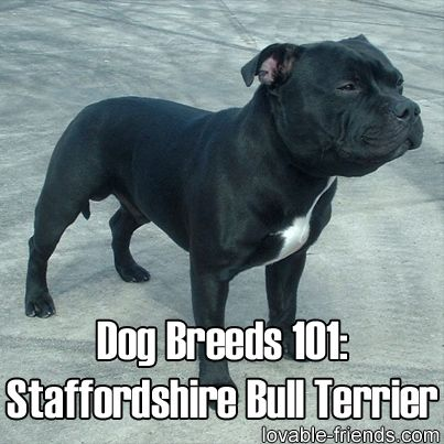 An English dog by origin, the Staffordshire Bull Terrier is considered to be the world's fifth most popular dog breed. Click the link to learn all about this well-loved dog breed!