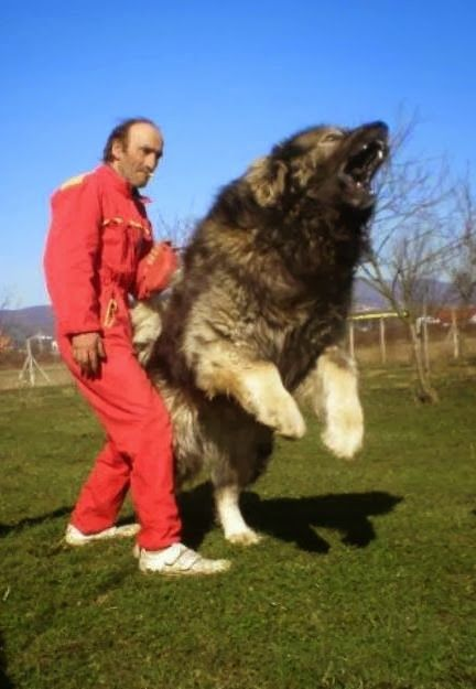 5 Dogs bigger than their owners, looks so aggressive :)