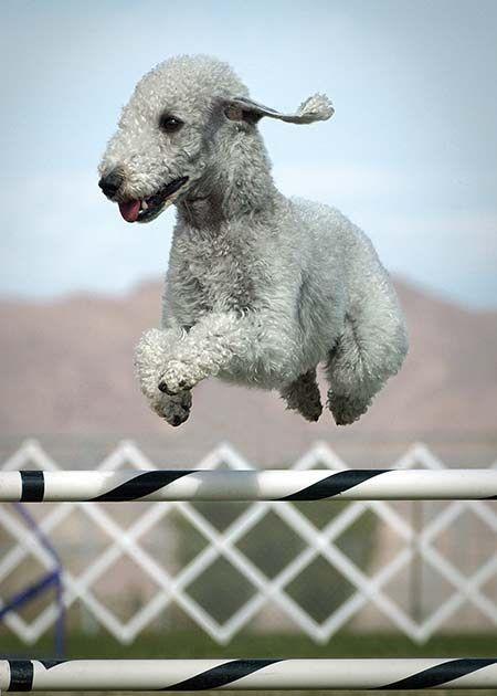 Bedlington terrier jumping...Wheee!!!