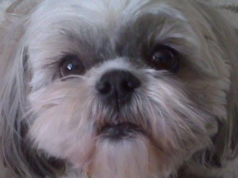 haircuts for dogs 17 best images about shih tzus on teddy 5448
