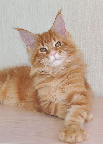 the Quatro- Maine Coon red tabby kitten