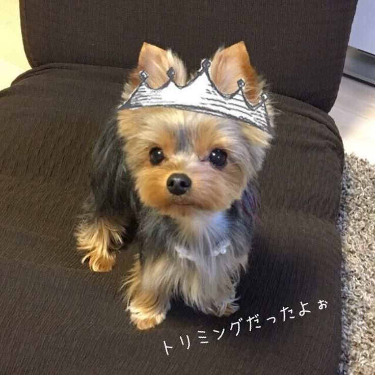 864 Best Yorkies And Other Dogs My Yorkie Bebe Images On