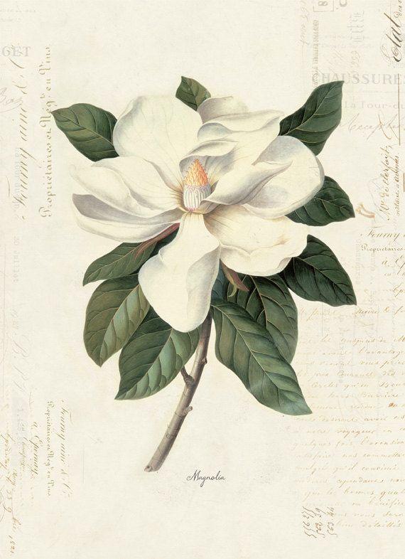 Vintage Botanical Magnolia on French Ephemera Print 8x10 P40 by OrangeTail on Etsy