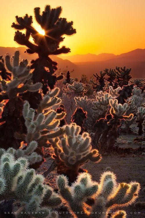 Cholla Sunrise, Cactus Garden in Joshua Tree Park | Amazing Pictures – Furkl.Com