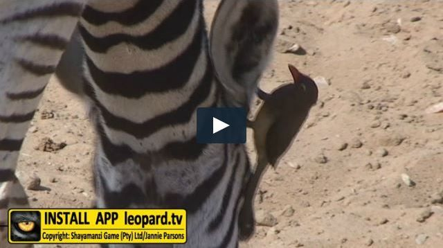 Do you know how many ticks an oxpecker can eat per day? Find out! #leopardtv #facts #science