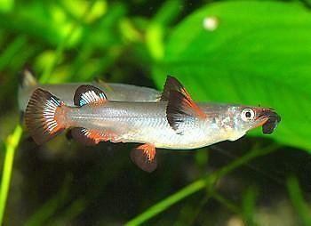 Live Tropical Aquarium Fish for Sale - Celebes Half Beak - Bundles - 1 - 10