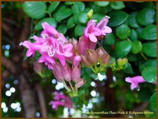 aeschynanthus thai pink - Cerca con Google