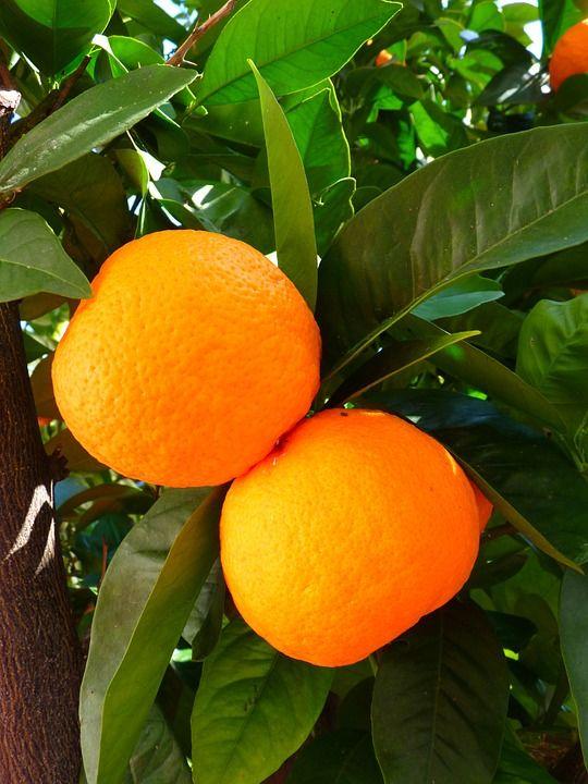 Pomeranče, Strom, Listy, Zelená, List
