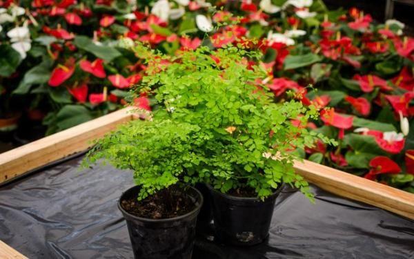 Se tem avencas em casa, essas dicas são para você! #avencas #plantas #plantar…