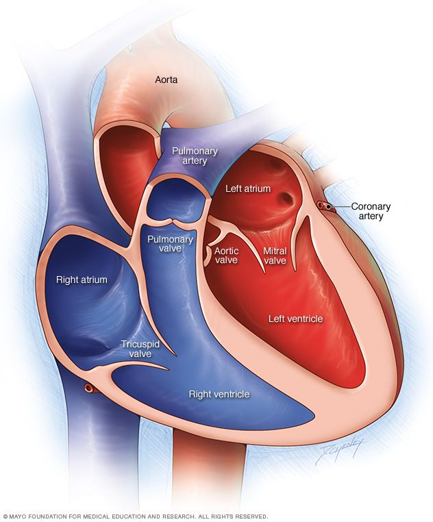 A normal heart has two upper and two lower chambers. The upper chambers, the right and left atria, receive incoming blood. The lower chambers, the more ...