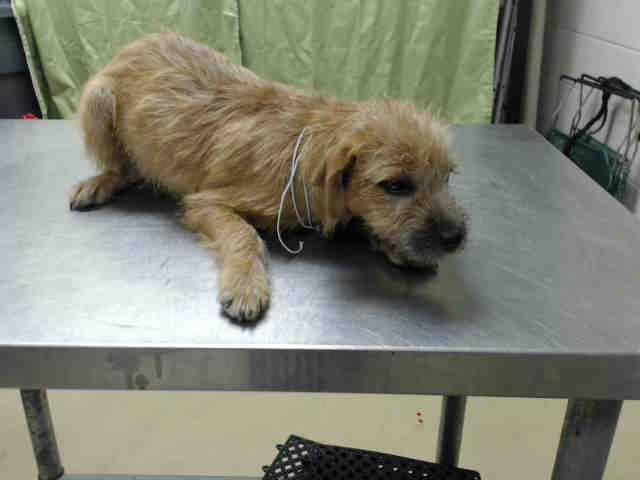 12/04/14 STILL LISTED - HURRY!!! HOUSTON - This DOG - ID#A420024 I am a male, brown Chihuahua - Long Haired mix. My age is unknown. I have been at the shelter since Nov 19, 2014.