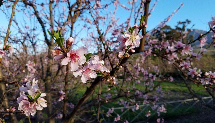 Peaches in bloom at Babylonstoren by Marie Viljoen