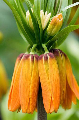 30 besten kaiserkronen fritillaria imperialis bilder auf pinterest blumen flora und blumen. Black Bedroom Furniture Sets. Home Design Ideas