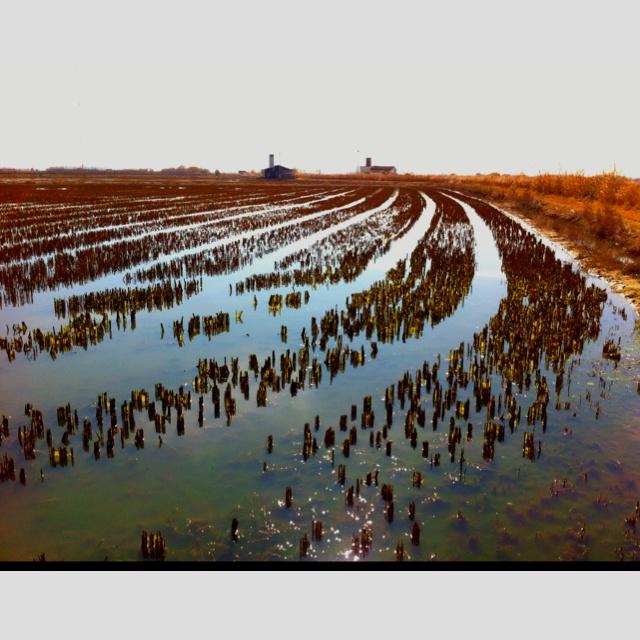 Rice crops at Albufera, Valencia, Spain