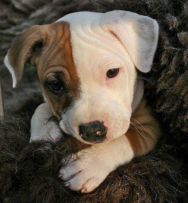 Staffordshire bull terrier puppy Semla