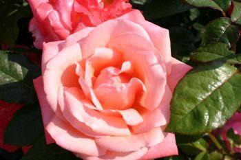 R. 'Silver Jubilee' (kw)    Perfect gevormde bloemen in roze, getint met abrikoos, perzik en crème. Zeer rijke bloeier, met een robuuste groeiwijze en uitermate verfijnde, dichte bladeren. Geurig. Een van de allerbesten. Genoemd naar het zilveren jubileum van koning Elizabeth van Groot-Brittanië. 90 cm  1 voor € 5,75  Staffelprijzen:
