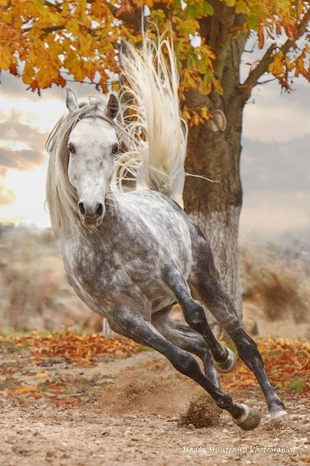 Talisman, Arabian stallion. Magda Munteanu Photography